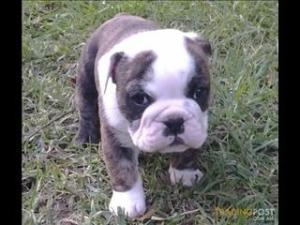 Bull dog pup